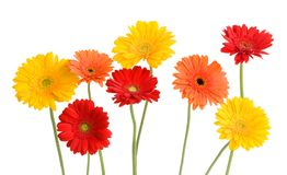 Daisies isolated on white. Gerber daisies - orange, yellow, red  isolated on white Stock Image