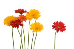Daisies isolated on white Stock Images