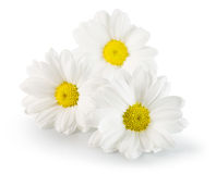 Daisies isolated on the white background Royalty Free Stock Image
