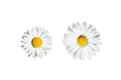 Daisies isolated Royalty Free Stock Images