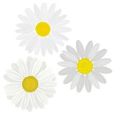 Daisies flower Royalty Free Stock Image