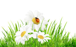 Daisies with ladybird. Three daisies in a green grass with ladybird isolated on white vector illustration