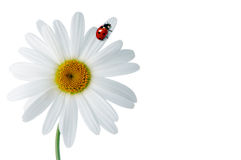 Daisies with ladybird Royalty Free Stock Photography