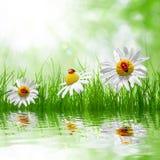 Daisies and ladybugs Royalty Free Stock Image