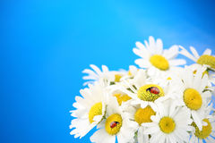 Daisies and ladybugs Royalty Free Stock Photos