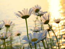 Daisies on a lakeshore at sunset Royalty Free Stock Photo