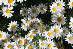 Daisies. A large field of daisies Stock Image