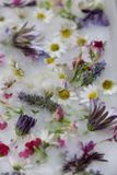 An assortment of flowers frozen in ice. Daisies, lavender, and other flowers frozen in a pan of ice Royalty Free Stock Photo