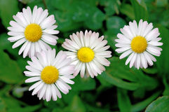 Daisies in the lawn Stock Photos