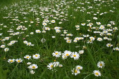 Daisies in a lawn Royalty Free Stock Photography