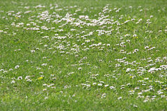 Daisies lawn background Royalty Free Stock Image