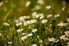 Daisies, lawn of daisy flowers Stock Photography