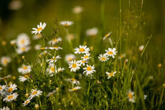 Daisies, lawn of daisy flowers Royalty Free Stock Photo
