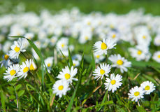 Daisies, lawn of daisy flowers Stock Photos