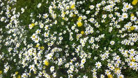 Daisies, lawn of daisy flowers, summer flower field Royalty Free Stock Images