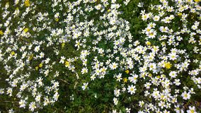 Daisies, lawn of daisy flowers, summer flower field Royalty Free Stock Photos