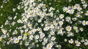 Daisies, lawn of daisy flowers, summer flower field Royalty Free Stock Photo