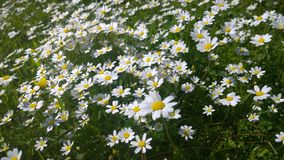 Daisies, lawn of daisy flowers, summer flower field Royalty Free Stock Image
