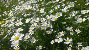 Daisies, lawn of daisy flowers, summer flower field Stock Images