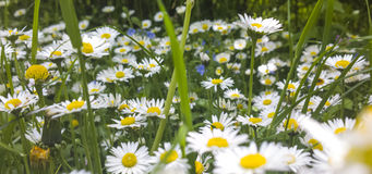 Daisies in lawn in spring Stock Image