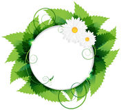 Daisies With Leaves. White daisies and lush foliage on a white background Stock Photos