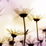 Daisies, light toned Royalty Free Stock Photography