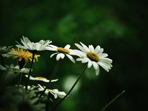 Daisies. Lovely daisies with green background Stock Photo