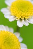 Daisies macro. Macro two common daisy flowers in bloom, green nature background Royalty Free Stock Images