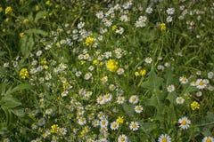 Daisies macro: bellis perennis Royalty Free Stock Image