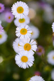 Daisies on macro lenses. A close-up macro view of a bunch of tiny white and yellow daisies surrounded by other small flowers around it Stock Photo