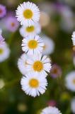 Daisies on macro lenses Stock Photo