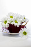 Daisies in a magenta china teacup Royalty Free Stock Photo