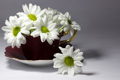 Daisies in a magenta china teacup Stock Images