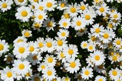 Daisies, or Mauranthemum paludosum. Kyoto Botanical Garden. Japan Stock Photography