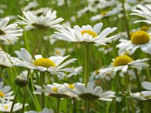 Daisies meadow 1 Royalty Free Stock Images