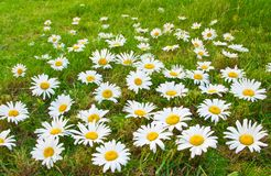 Daisies in a meadow Stock Image