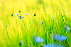Daisies' meadow Stock Photography