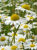 Daisies meadow Royalty Free Stock Image