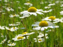 Daisies meadow Stock Image