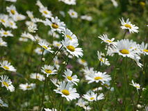 Daisies. In a meadow Royalty Free Stock Photos