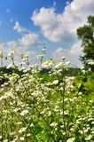 Daisies meadow Royalty Free Stock Photography