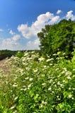 Daisies meadow Royalty Free Stock Photos