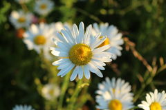 Daisies in a meadow. Beautiful white daisies growing in the meadow Stock Image