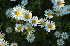 Daisies in a meadow. Beautiful white daisies growing in the meadow Stock Photos