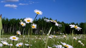 Daisies in meadow with blue sky and fluffy clouds. Beautiful daisy flower blossoms, Leucanthemum vulgare, in a tranquil forest meadow full of wild daisies on a stock video