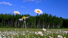 Daisies in meadow with blue sky and fluffy clouds. Beautiful daisy flower blossoms, Leucanthemum vulgare, in a tranquil forest meadow full of wild daisies on a stock video footage