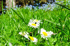 Daisies in meadow Stock Photography