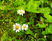 Daisies in a meadow Stock Images