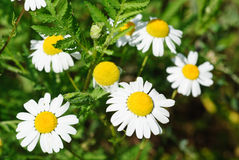 Daisies in the meadow closeup at summer Royalty Free Stock Photography
