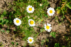 Daisies in the meadow closeup at summer Stock Image